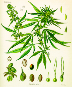 CBD-Oil-Leaves
