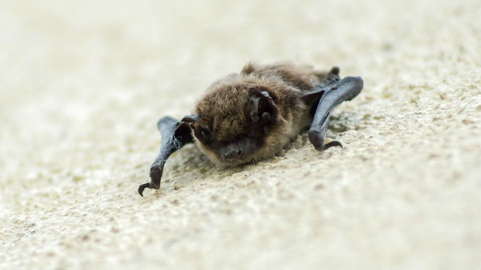 Fort Worth Bat Removal